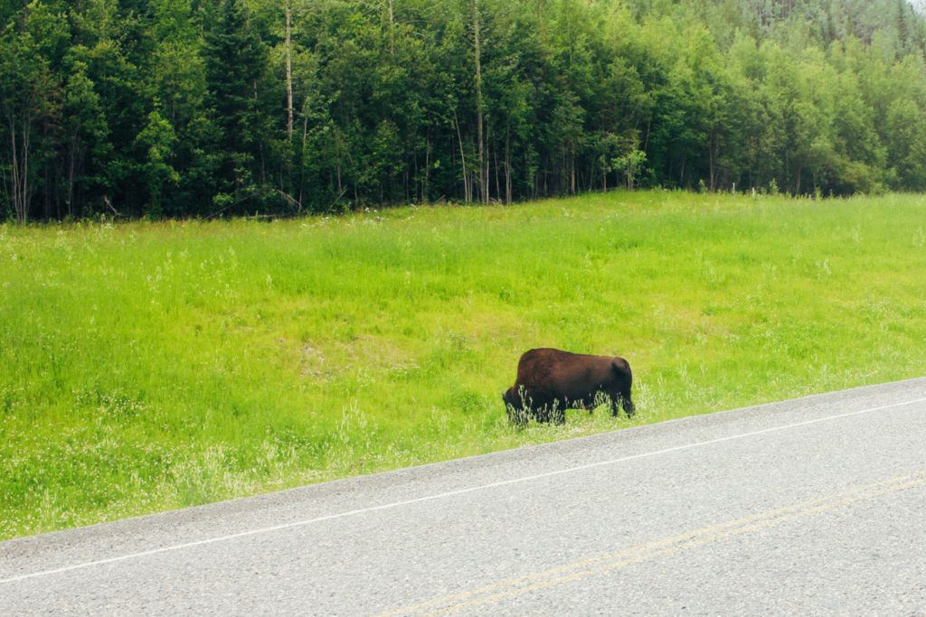 A bison on the side of the road in Canada