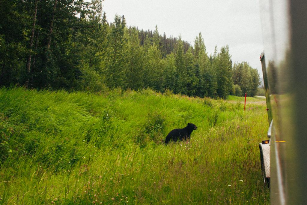A black bear on the side of the road in Canada